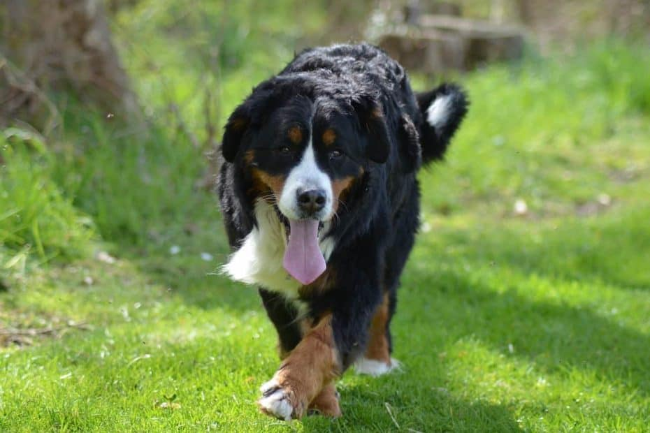 bernese-mountain-dog-4169837_1280-min