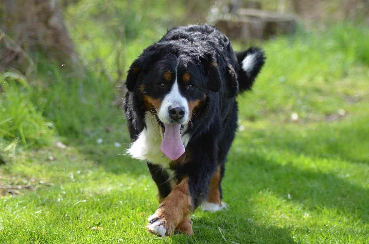 Бернското планинско куче