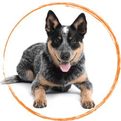 късоопашато пастирско куче